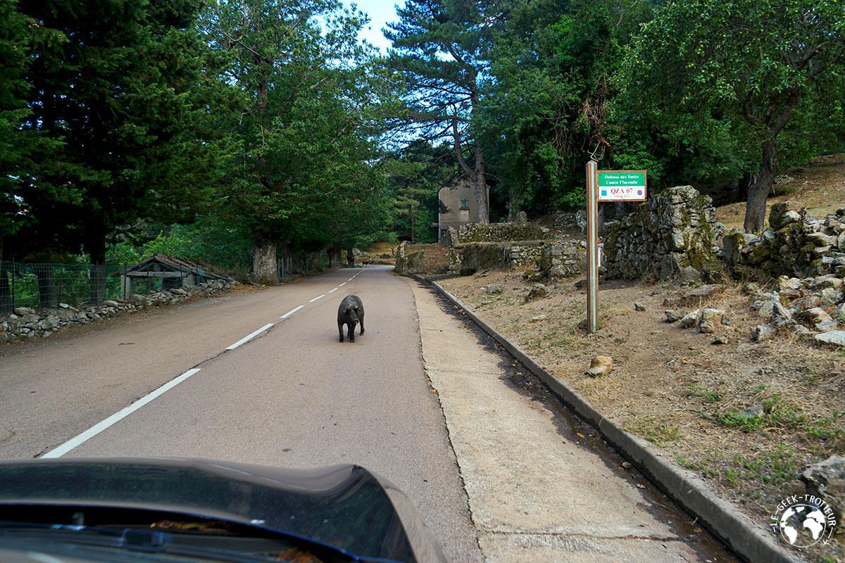 Un sanglier sur la route en Corse