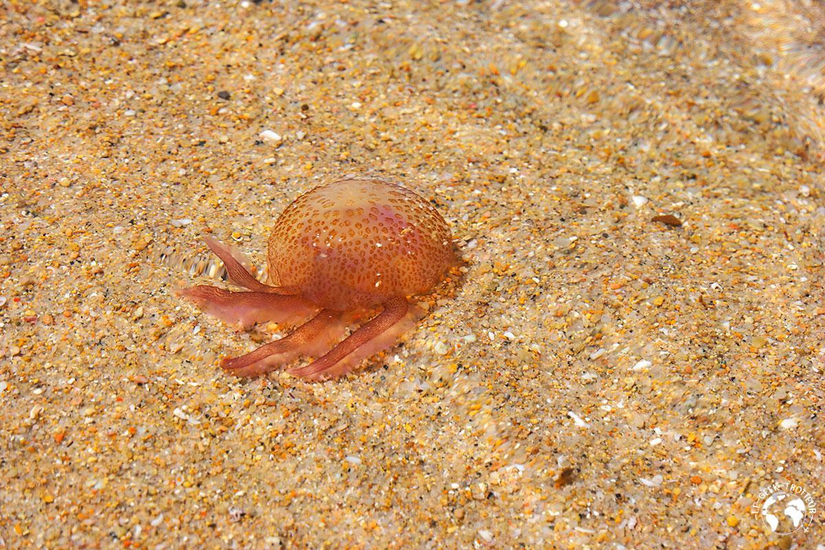 Une méduse sur une plage des îles Lavezzi
